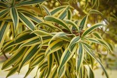 Dracaena reflexa or Song of India. Leaves beautiful Dracaena reflexa or Song of India Royalty Free Stock Image