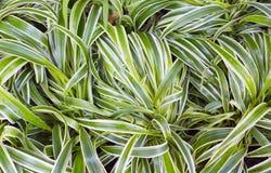 Dracaena rośliny zieleni tło Zdjęcia Stock