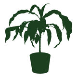Dracaena Royalty Free Stock Photography