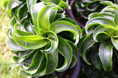 Dracaena tip. Close up green dracaena tip royalty free stock image