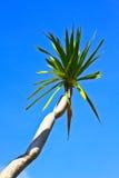 Dracaena tree Royalty Free Stock Images