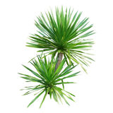 Dracaena tree. Isolated on white background Royalty Free Stock Photos