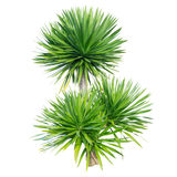 Dracaena tree. Isolated on white background Royalty Free Stock Photography