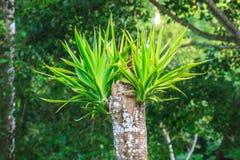 Dracaena tree Royalty Free Stock Photo