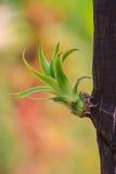 Dracaena tree Stock Image
