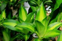 Dracaena vert vif Fragrans ou usine heureuse dans le jardin tropical photos stock
