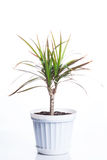 Dracaena in white pot. On white background royalty free stock photography