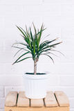 Dracaena in white pot standing on wooden chair Stock Images
