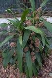 Dracaenablommor är blomningen royaltyfria bilder