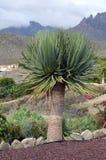 Dracaenadraco (draketrädet) Royaltyfri Fotografi
