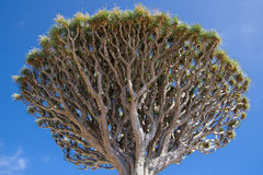 DracaenaDraco Treetop stockfotografie
