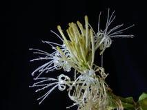 Dracaenaen blommar. Arkivbilder