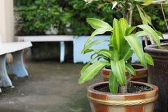 Dracaenafragrans oder -asche im Topf im Garten mit Stein-chairDracaena fragrans oder -asche im Topf im Garten mit Steinstuhl stockbild