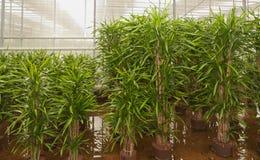 Dracaenas in a hydroculture plant nursery Stock Image