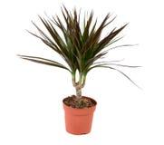 Dracena植物 库存图片