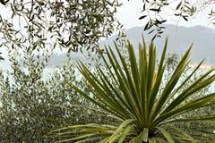 Dracena-Anlage und Olivenbäume auf dem Meer lizenzfreies stockfoto