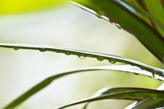Dracena-Blätter mit Wasser-Tröpfchen Stockbild
