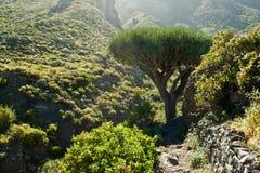 Dracena delle Canarie sulla costa Est del nord di Tenerife Fotografie Stock Libere da Diritti