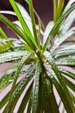 Dracena marginata med vattendroppar Royaltyfri Foto