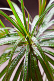Dracena marginata with water drops Royalty Free Stock Photo