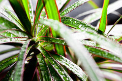 Dracena marginata with water drops Stock Image