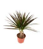 Dracena plant Royalty Free Stock Photos
