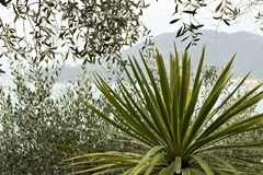 Dracena plant and olive trees on the sea royalty free stock photo