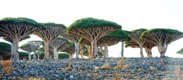 Dracene delle Canarie (cinnabari della dracaena) nell'isola di socotra, Yemen Fotografia Stock Libera da Diritti