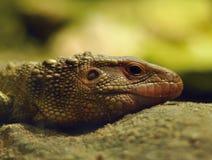 draceny guaianensis Fotografia Stock