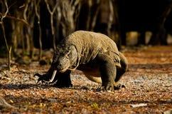 Drache auf Komodo Insel-Wald an der Kamera lizenzfreie stockfotografie