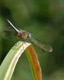 Drache-Fliege lizenzfreies stockbild