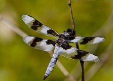 Drache-Fliege Stockfotografie