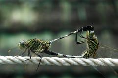 Drache-Fliege Lizenzfreie Stockfotos