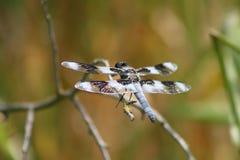 Drache-Fliege Stockbilder