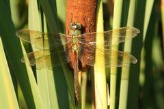 Drache-Fliege in den Maryland-Feuchtgebieten stockbilder