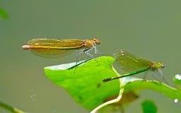 Drache-flys sitzt auf einem Baum lizenzfreies stockfoto