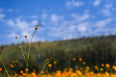 Drachefliege auf der Blume mit Tageslicht Lizenzfreie Stockfotografie