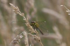 Drachefliegen-Stirnseitenporträt stockfotos