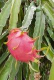 Drachefrucht auf einem Baum lizenzfreie stockbilder