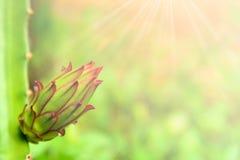 Drachefrucht-Blumenknospe mit Wassertropfen Stockfotografie