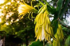 Drachefrucht im Garten Lizenzfreies Stockfoto