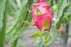 Drachefrucht, Pitaya auf Baum stockfotos