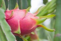 Drachefrucht, Pitaya auf Baum lizenzfreie stockfotos