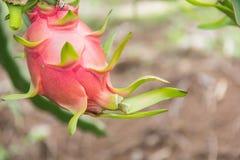 Drachefrucht, Pitaya auf Baum lizenzfreies stockfoto