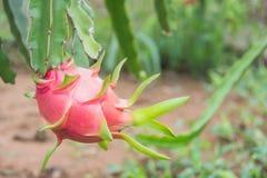 Drachefrucht, Pitaya auf Baum lizenzfreies stockbild