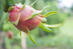 Drachefrucht, Pitaya auf Baum stockbild
