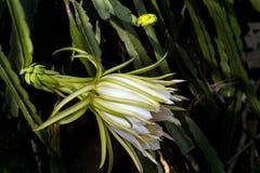 Drachefruchtblume oder pitaya Blume, die in der Plantage blüht Stockfoto