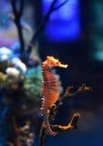 Drachen des MeerHorse Stockbild