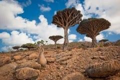 Drachenbäume an der Homhil Hochebene, Socotra, Yemen stockfotografie
