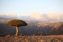Drachenbaum lizenzfreie stockfotos